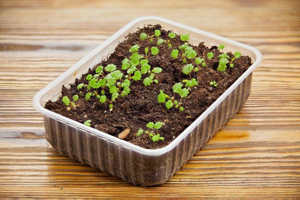 Как правильно вырастить клубнику из семян— от посева до пикировки