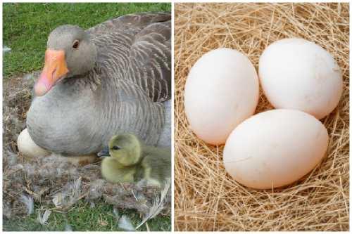 Можно ли есть гусиные яйца (жареные, варёные, сырые), можно ли их есть кормящей маме