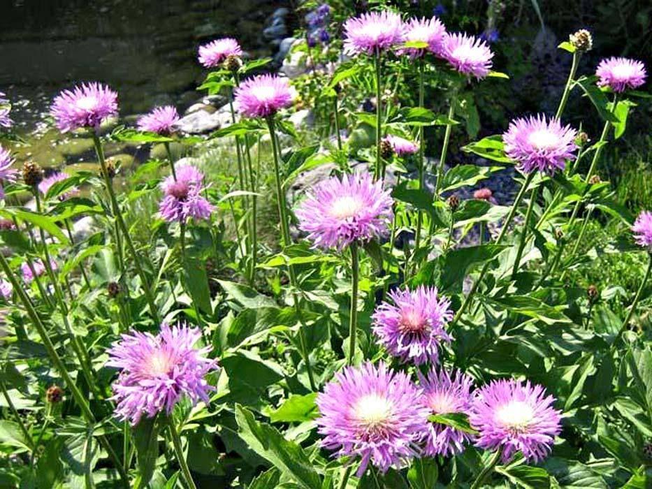 Как правильно выращивать садовый многолетний василек