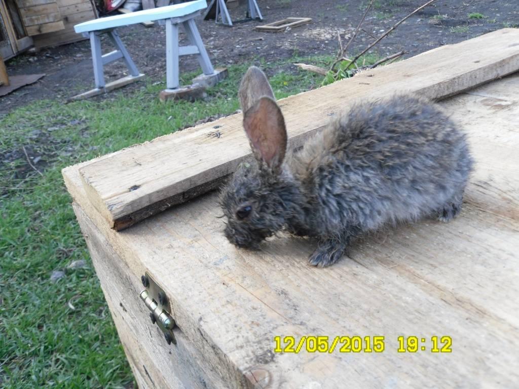 Мокрец — болезнь мокрой мордочки у кроликов