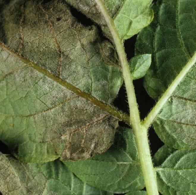 Причины скручивания листьев у картофеля, методы лечения и борьбы