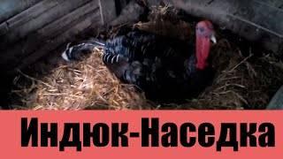 ✅ о индюшках: сколько дней сидят на яйцах и когда начинают высиживать - tehnomir32.ru