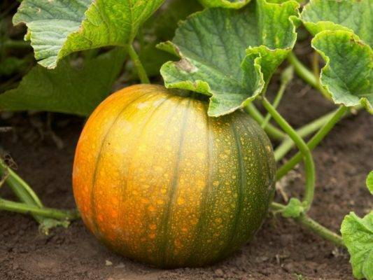 Посадка тыквы семенами в открытый грунт: сроки посева и уход