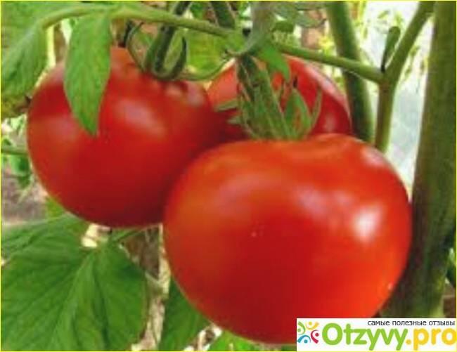 Выращивание томата подарок женщине