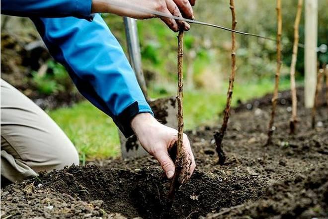 Посадка малины осенью: сроки посадки, способы, правила, удобрения, обрезка