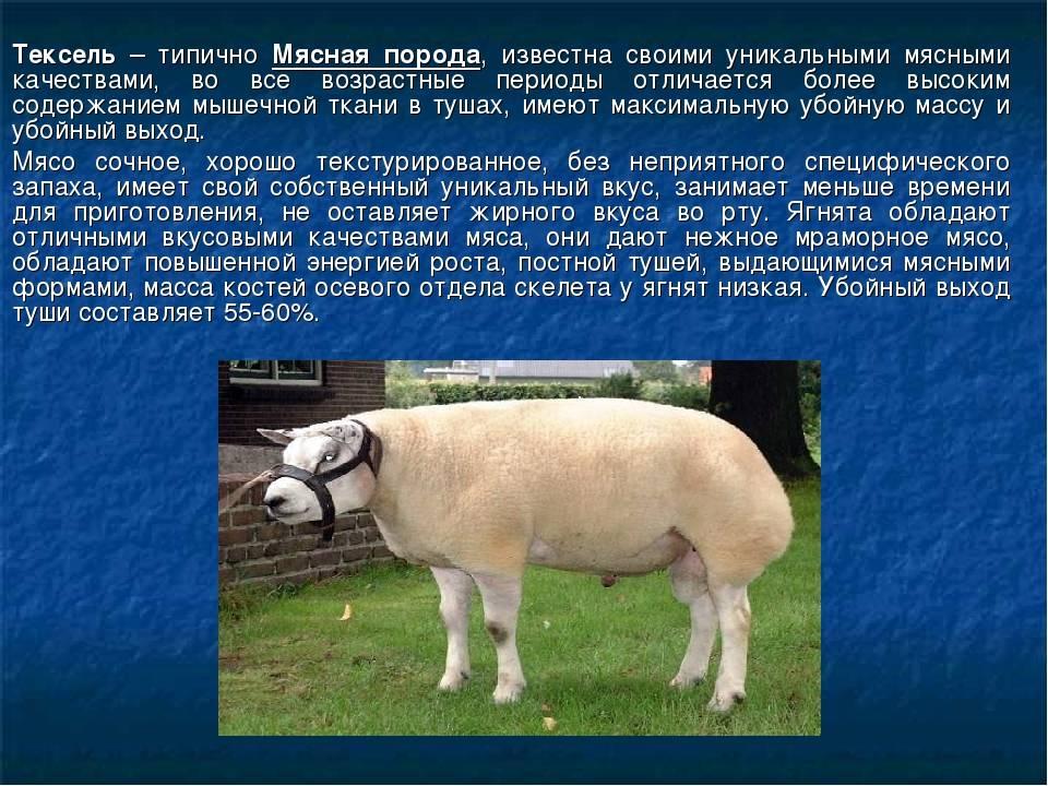 Мясошерстные овцы суффолк
