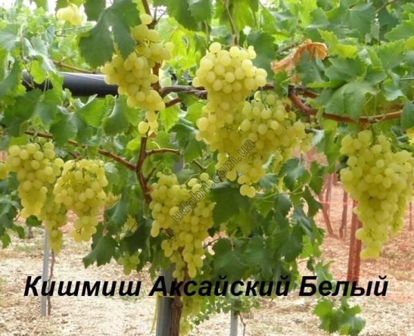 Описание винограда кишмиш аксайский