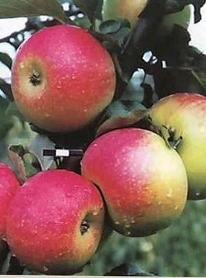 Сорт яблок памяти сикоры — быстро завоевывает популярность
