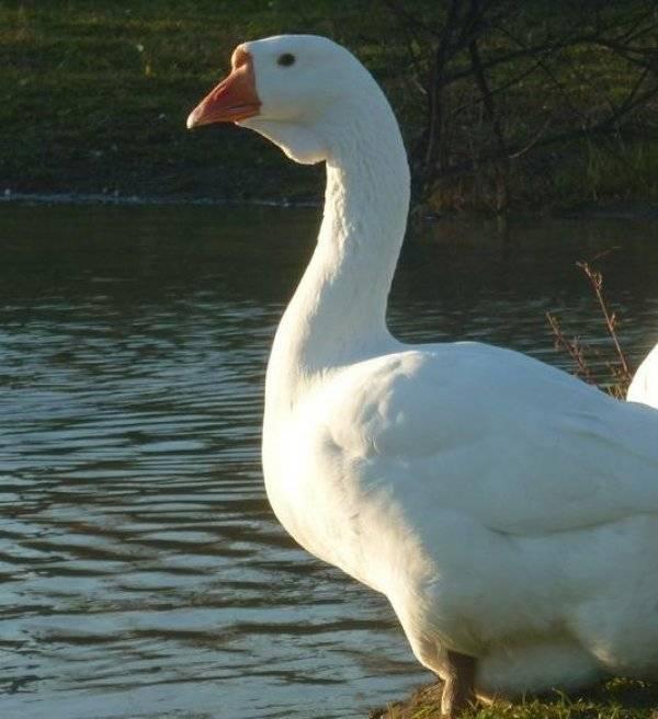 Советы опытных птицеводов по содержанию и кормлению гусей породы линда
