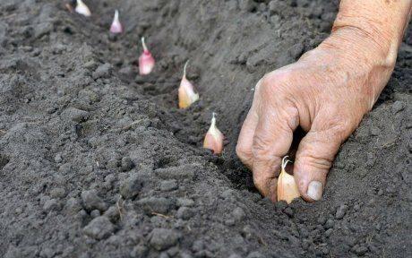 Как подготовить грядку под посадку чеснока осенью (под зиму): чем заправить, какими удобрениями