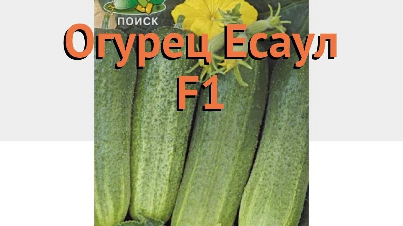 Огурец аскер f1: характеристика и описание сорта, фото, посадка и уход, технология выращивания семян, отзывы