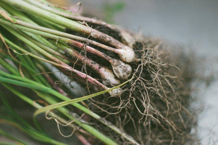 Зеленый чеснок: польза и вред, приготовление — life-sup.ru