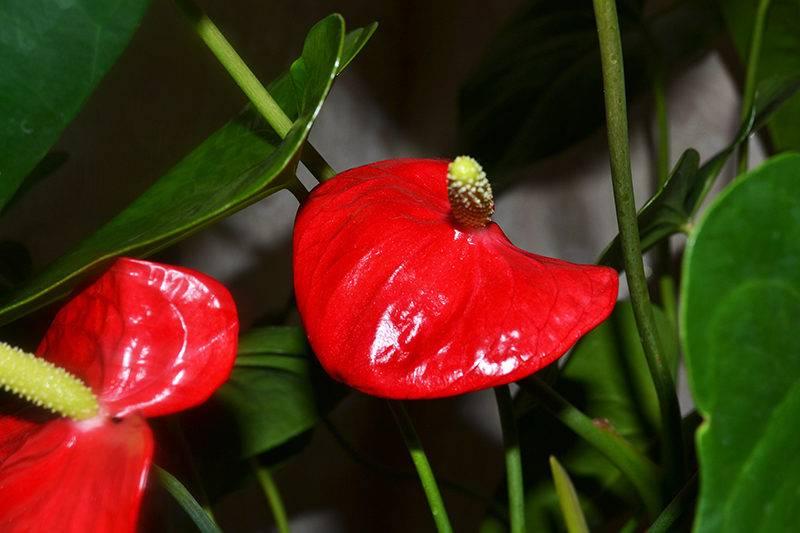Что делать если антуриум не цветет?