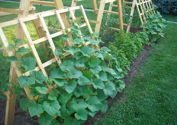 Огурец ухажер f1: описание сорта, фото, отзывы - растения и огород
