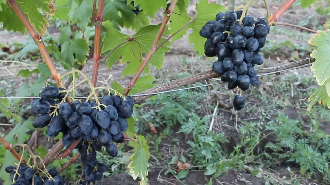 Виноград ромбик - описание сорта, фото, отзывы