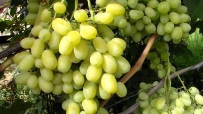 """Виноград """"цветочный"""" - характеристика и описание сорта, особенности выращивания и отзывы"""