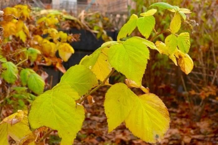 Уход за малиной осенью: полив, обрезка, подкормка
