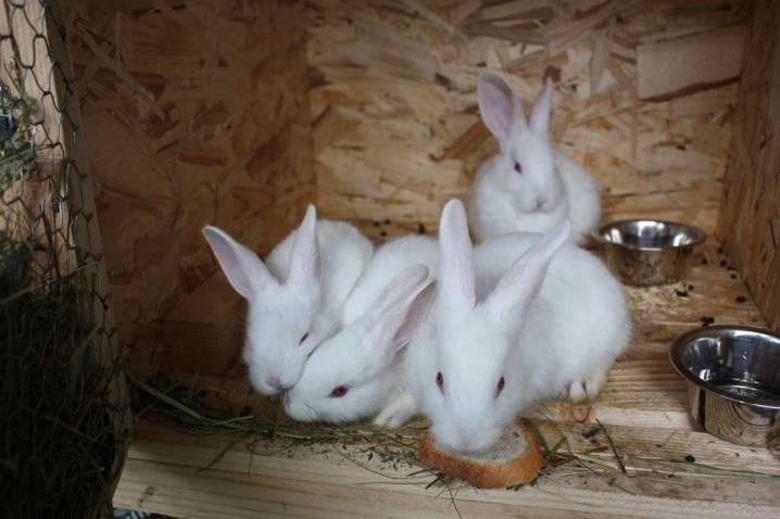 Кролики породы белый паннон описание, отзывы, видео
