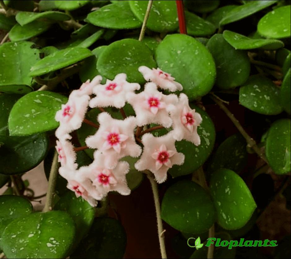 Цветок хойя: уход в домашних условиях, фото, пересадка, размножение, почему не цветет