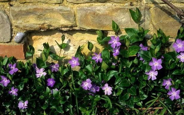 Агротехника выращивания барвинка в открытом грунте: как посадить, размножить, как цветет