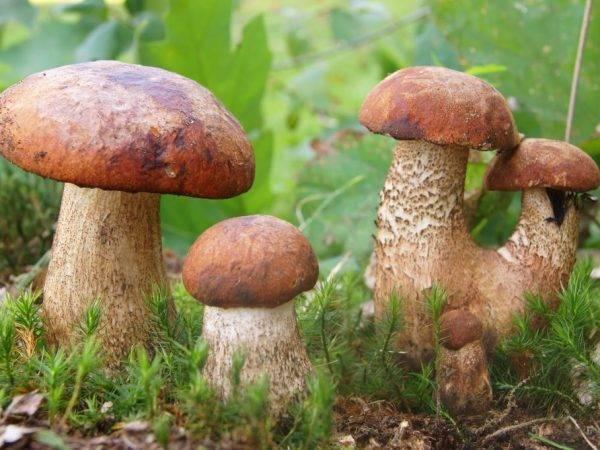 Грибы во владимирской области 2021: когда и где собирать, сезоны и грибные места