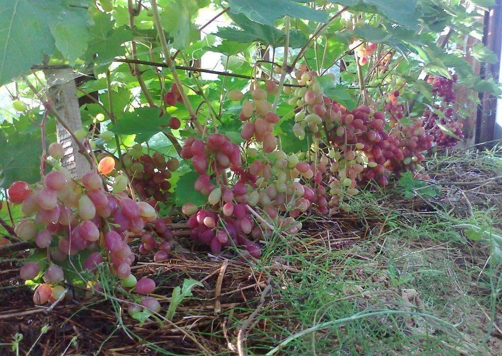 Виноград виктория: описание сорта, его характеристики и фото selo.guru — интернет портал о сельском хозяйстве