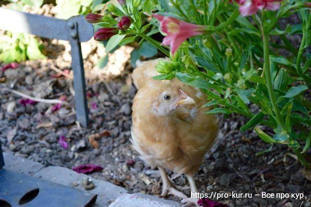 Чем кормят суточных цыплят