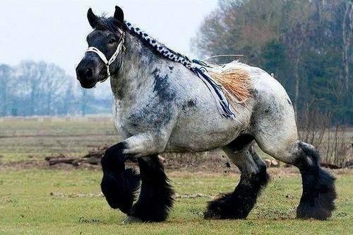 ᐉ арденская тяжеловозная порода лошадей: история и характеристика арденов - zooon.ru