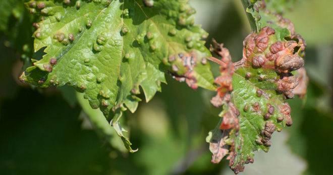 Вредители и болезни винограда: описание с фотографиями и способы обработки