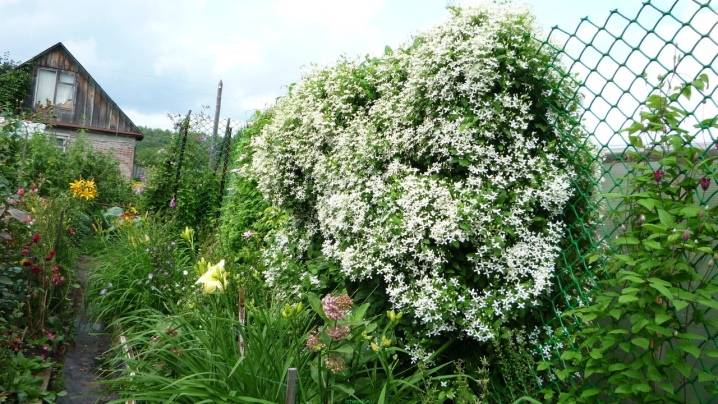Клематис маньчжурский: посадка и уход, выращивание и фото