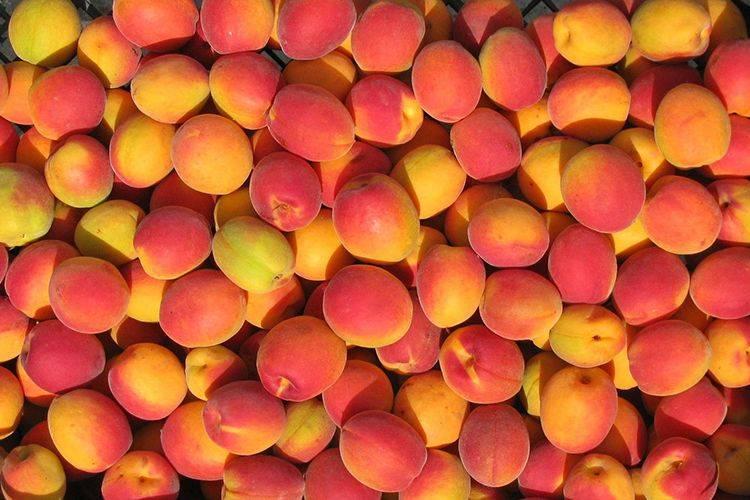 Описание и опылители абрикоса сорта саратовский рубин, посадка и уход
