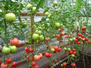 Помидоры «малиновое чудо»: описание и особенности культивирования