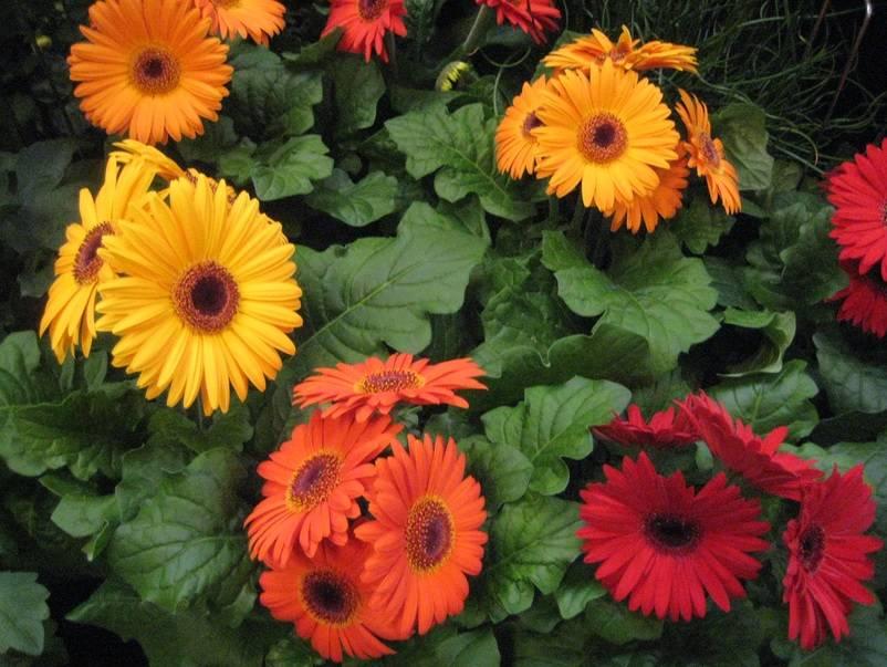 Посадка герберы садовой: выращивание цветов и уход в открытом грунте на даче