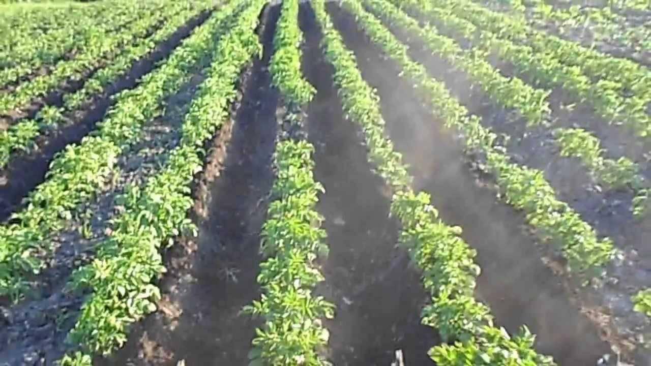Окучивание картофеля: сроки, правила, когда и как окучивать