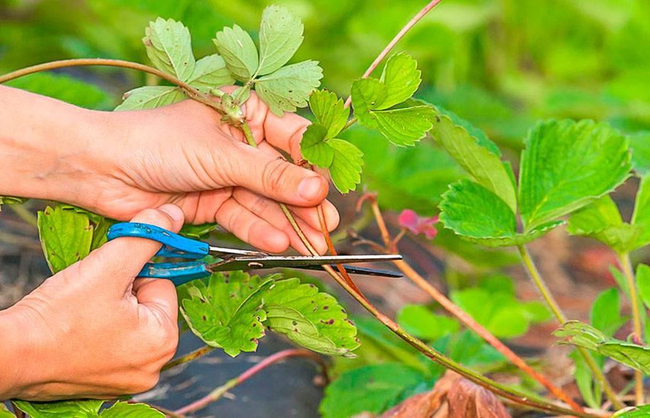 Особенности ухода за клубникой осенью: подкормка, обрезка, укрытие. как подготовить клубнику к зиме, чтобы увеличить урожайность