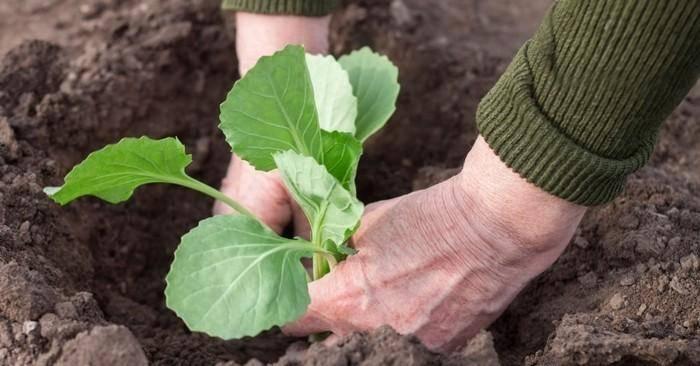 Фаворит среди урожайный сортов капусты — акира f1: отзывы и описание
