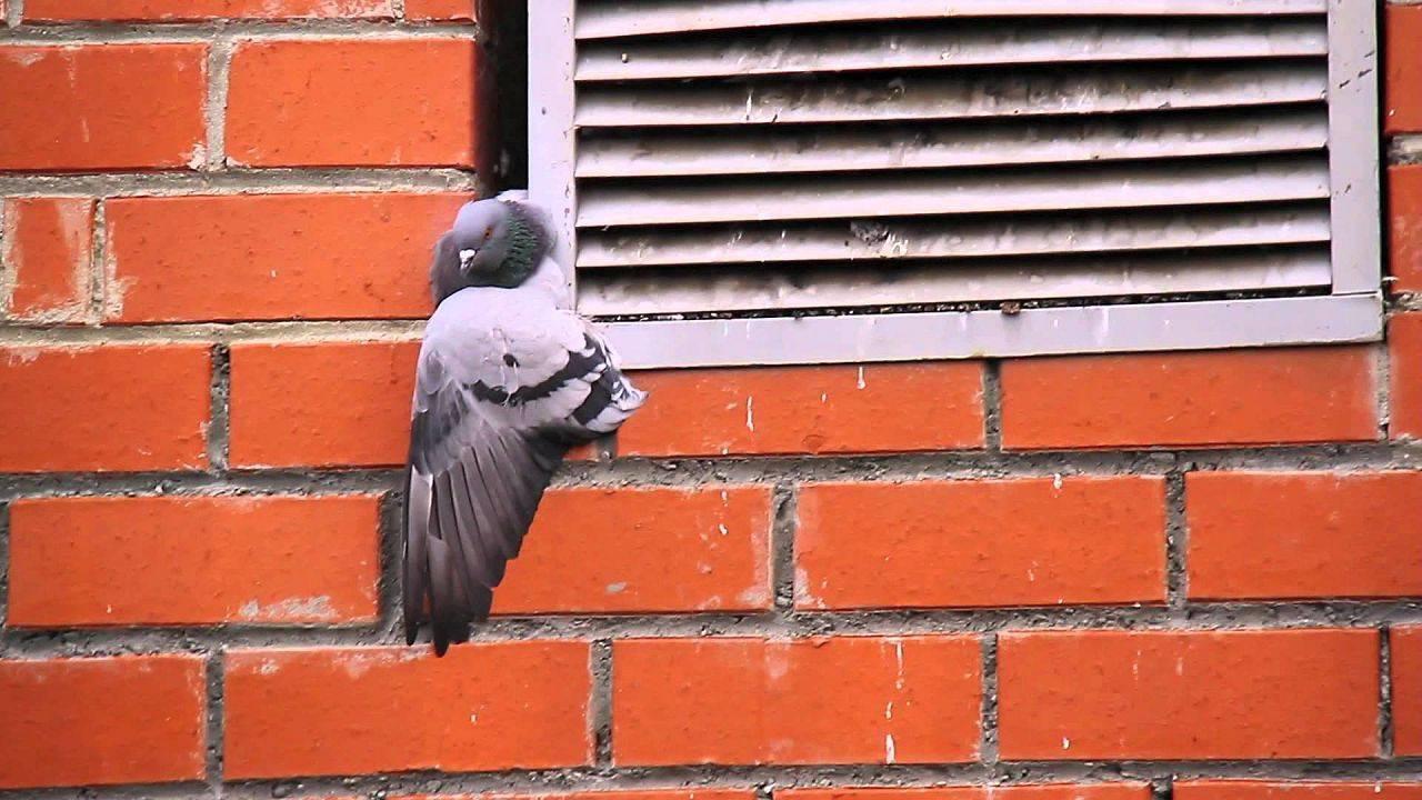 Как поймать голубя: 5 способов ловли, как сделать ловушку для птиц своими руками