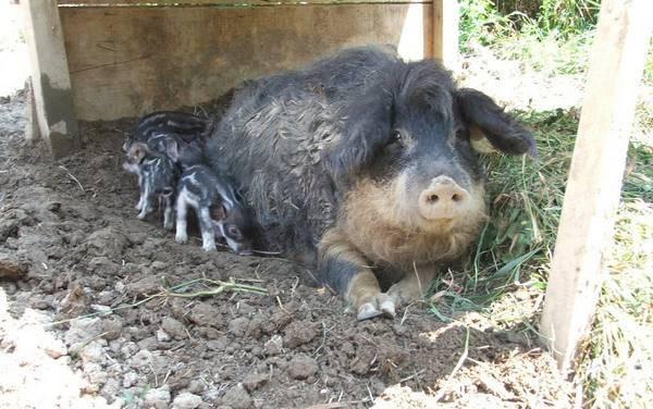 Порода свиней венгерская мангалица (48 фото): характеристика волосатых поросят и взрослых кудрявых свиней. отзывы владельцев