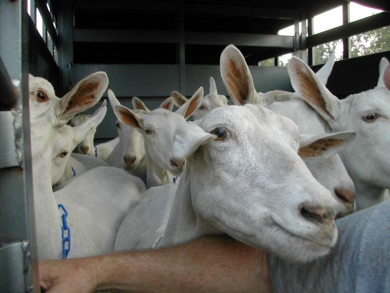 Зааненские козы: описание породы, продуктивность, фото