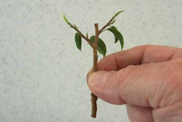 Как вырастить фикус в домашних условиях: из листочка, веточки, черенка и отростка selo.guru — интернет портал о сельском хозяйстве