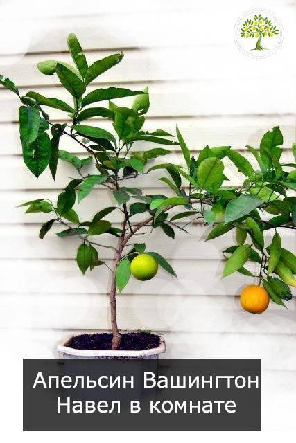 """Почему апельсин называли """"китайским яблоком"""", каким он бывает и где растёт"""