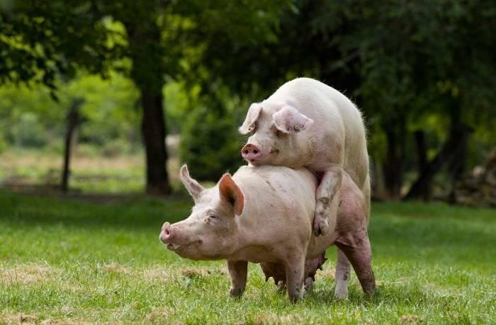 Признаки опороса свиноматки, сколько длятся первые роды, полезные рекомендации по уходу