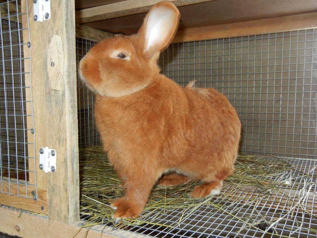 Кролик красный: новозеландская порода с американскими корнями