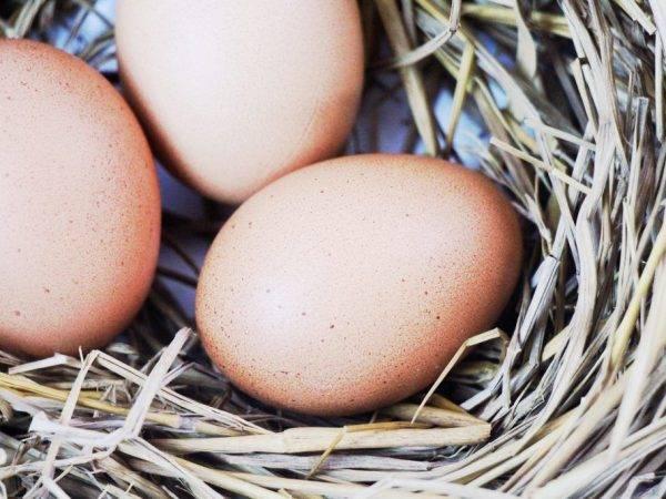 Может ли курица нести яйца без петуха, как построен ее организм