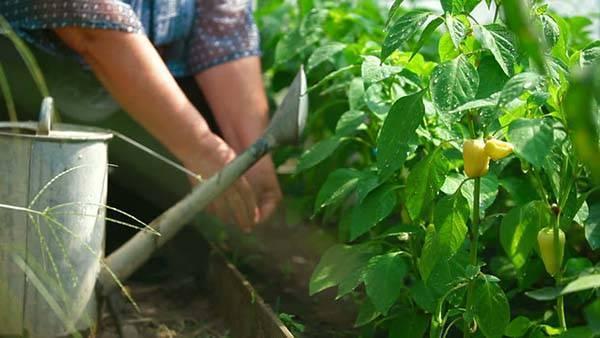 Как поливать рассаду перцев в домашних условиях: как часто делать полив, чем полить для роста, правильная поливка после пикировки русский фермер