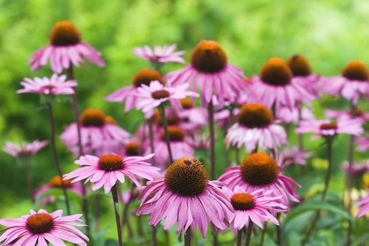 Когда и как сажать эхинацею пурпурную на рассаду в домашних условиях