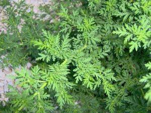 Полынь однолетняя где растёт фото. описание однолетней полыни