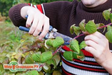 Тонкости обрезки малины весной, летом и осенью