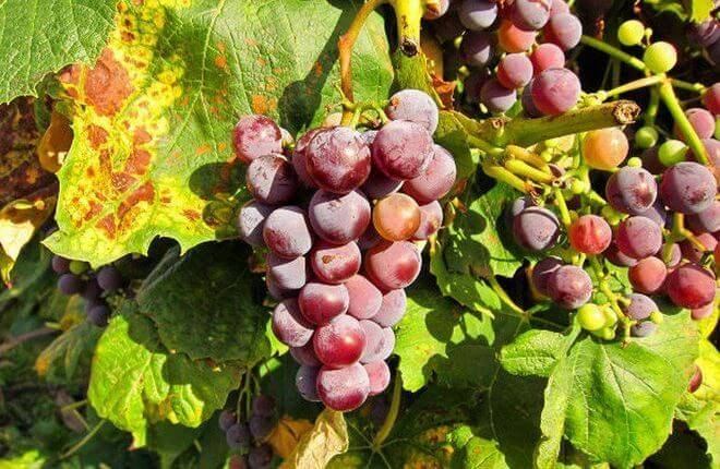 Чем опрыскивать виноград от болезней и вредителей