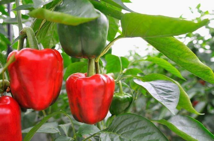 Когда лучше сажать перец на рассаду - когда сажать и как выращивать